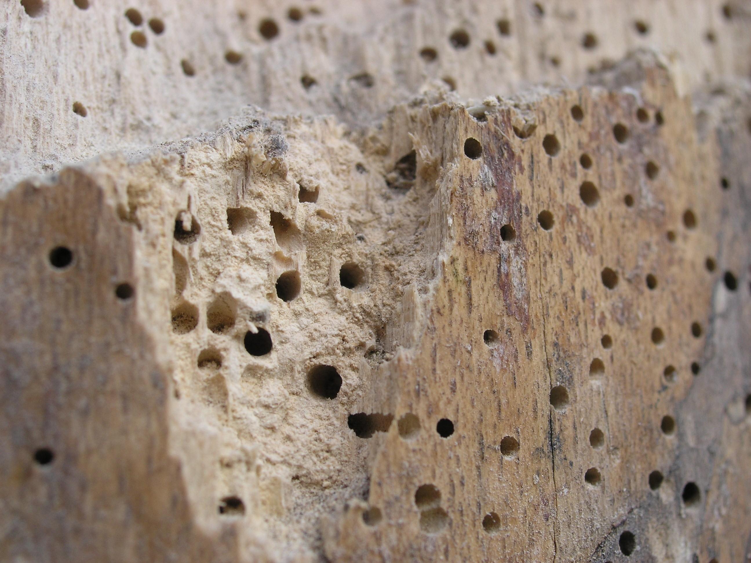 حشرات الخشب المنزلية